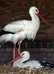 Great Expectations (Mirjam75) Tags: bird birds nest feathers stork birdwatcher ooievaar featheryfriday specanimal