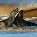 Grey Seals Halichoerus grypus