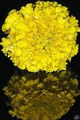 Folie en Jaune (LLP (Recuperating... Extended Away)) Tags: flowers macro reflections nikon d300 r1c1 afsvrmicronikkor105mmf28gifed sbr200 multipleflashguns
