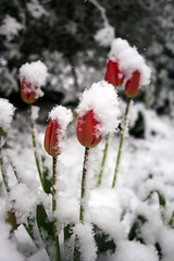 Tulips In The Snow (Alan1954) Tags: flowers england snow nature beautiful tulips mygarden otw megashot theperfectphotographer cherryontopphotography pllatinumpeaceaward blinkagain