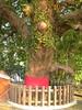 竹山鎮中和里救人老茄苳樹DSCN6039