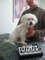 Sundog (malteserus) Tags: dogs maltese sundog accupuncturemalteserus