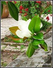 Magnolia flower (Queen Tiye) Tags: white plant flower nature bulgaria magnolia balchik prinzesabg