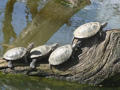 follow the leader. (The Big Picture 2008) Tags: turtle westmidlands bigpicture2008 shangingout