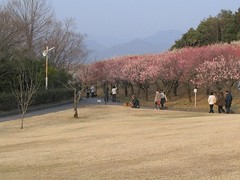 The plum blossoms have an audience (GarNatJapan) Tags: japan spring ume plumblossoms