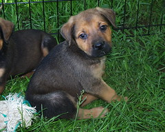 Tango (muslovedogs) Tags: dogs puppy mastweiler