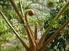 96.11.16竹崎鄉光華村茄苳風景區內的茄苳老樹DSCN3304