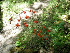 Red larkspur Photo