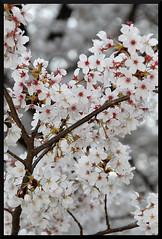 HADONG Cherry Blossom XX (Flitze50) Tags: cherry spring blossom korea cherryblossom southkorea fruehling kirschbluete hadong hwagae
