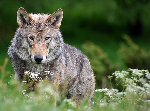 wolf2 Fremlin