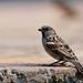 Amboseli, Grey-headed Sparrow