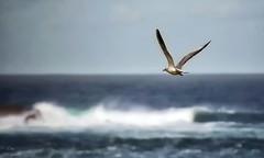 Surcando el cielo... (Leo ) Tags: winter sea wallpaper sky skyline mar corua waves wind seagull viento galicia cielo invierno olas gaviota horizonte ocanoatlntico