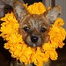 browndogwithyellowflowers_001