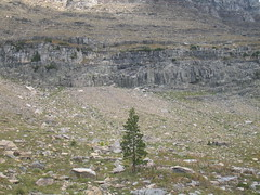 Mountain Goats (Ryan Hadley) Tags: trees cliff usa mountains nature animals landscape nationalpark montana rocks hiking wildlife rockface worldheritagesite rockymountains glaciernationalpark gardenwall mountaingoat continentaldivide highlinetrail lewisrange swiftcurrentridge