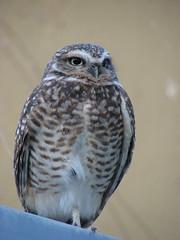 Burrowing Owl (annkelliott) Tags: canada calgary bird nature alberta owl birdofprey athenecunicularia burrowingowl interestingness205 i500 annkelliott img5568 explore2007november13