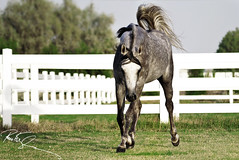 Arabian Horse (Fawaz Al Nashmi) Tags: horse animal work 1 arab arabian fawaz  funzy    colourartaward