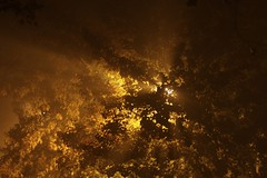Shining through (Marco Arment) Tags: light tree fall leaves fog night streetlamp rays larchmont
