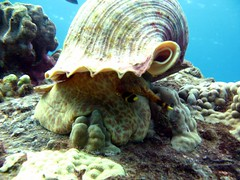 tritonextended (shappell) Tags: ocean sea usa water hawaii underwater pacific dive shell snail trumpet maui snorkle mollusk makena tritons