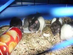 P1050722 (jonathan.riboux) Tags: animal rat rongeur