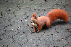 Nuts About Nuts (photoArt) Tags: red animal backyard walnut nut eichhrnchen squirell eichhoernchen walnuss 55200mm i500 interestingness119 goldenmix nikond40 anawesomeshot
