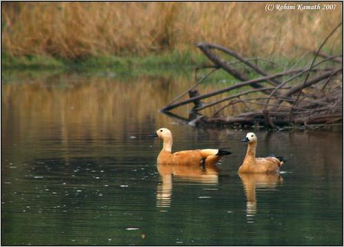 Brahminy Duck Pair