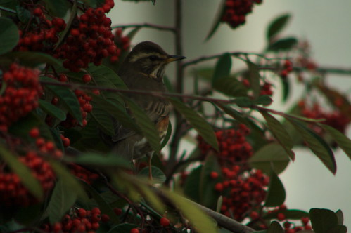 redwing with berry