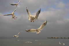 mad seagull (orczyk) Tags: sea sky birds pier action seagull gull poland olympus mad kolobrzeg gmt uz blueribbonwinner c765 supershot explored kartpostal mywinners abigfave diamondclassphotographer flickrdiamond orczyk thewonderfulworldofbirds