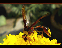 DSC04811 (dritzdcool) Tags: flower macro bug insect wasp pest infinestyle macromix dritzdcool