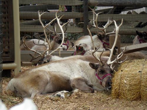 Snoozy Reindeer