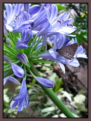 Lovely skipper butterfly (Indian Palm Bob) on Agapanthus, shot Jan 12, 2008