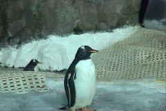 Gentoo Penguin@Kelly Tarlton's
