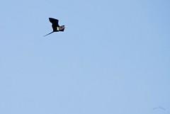 Magnificent Frigate Bird (Susan Rosthal) Tags: floraandfauna tahititrip