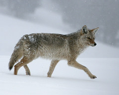 Winter Coyote - Yellowstone (Dave Stiles) Tags: coyote winter fab wildlife yellowstonenationalpark yellowstone stiles canislatrans yellowstonewildlife naturewatcher wintercoyote ynpwinter2008