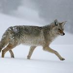 Winter Coyote - Yellowstone