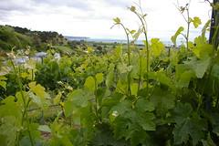 IMGP2544 (Jamie Goode) Tags: newzealand wine hawkesbay