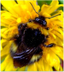 Bee Beautiful ! (lisaluvz) Tags: flower detail macro nature wet yellow wales garden spring weed furry fuzzy wildlife bees conservation dandelion pollen bumble ceredigion crisis soggy ecosystem superbmasterpiece macromarvels lisaluvz