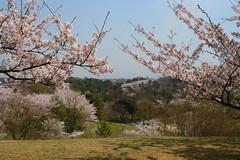 spring odaka (Steve-kun) Tags: nature japan spring jp flickrcom stephendraper stevedraperpictures draperphotography stephendraperphotography  flickrjp flickrflickr jpcom