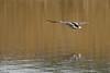 Flying away - Voler au loin (Luc Deveault) Tags: wild canada bird animal duck pond eau quebec action reflet québec luc takeoff oiseau canard étang sauvage flyning deveault animauxqc encvol lucdeveault