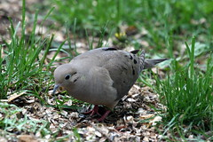 Mourning Dove by Birdfreak.com