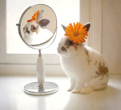 Vanity (JenniPenni) Tags: light pets flower reflection cute bunny window mirror vanity handsome dressingup headpiece mrpancakes thevainbunny
