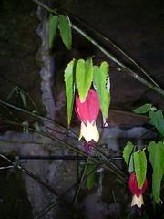 S5030564 (Ian Faz) Tags: flowers plants tress nessgardens