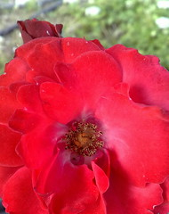 Intense red rose - macro (eagle1effi) Tags: cameraphone flowers flower macro nature rose mobile fauna favoriten nokia flickr bestof phone photos stuttgart dusk natur cellphone blumen selection foliage fotos mobilephone gps fiori blume fiore celly auswahl beste damncool tessar selektion carlzeisstessar f2856 lieblingsbilder eagle1effi byeagle1effi naturemasterclass ae1fave 6220c1 carlzeiss yourbestoftoday 50megapixel exacthybridgeomapped tagesbeste