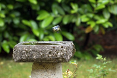 Waterhole Trilogy Part 3 (Coquine!) Tags: bird garden bath garten bluetit vogel meise kohlmeise trnke christianleyk