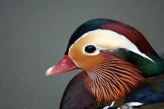 IMG_8802 (Heleni0) Tags: bird duck mandarin mandarinduck waterfowl aixgalericulata anatidae avianexcellence