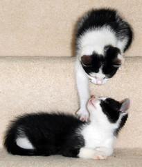 Kittens (Leannz0r) Tags: friends pet white playing black game animal cat fur kitten little fluffy kittens stroke siblings meow paws challenge the kissablekat leannz0r bestofcats challengegamewinner beautifulworldchallenges