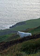 Sky Road,Clifden,Connemara (kliffklegg) Tags: ireland irish eire connemara questfortherest clifden whitecow blueribbonwinner skyroad mywinners naturewatcher kliffklegg