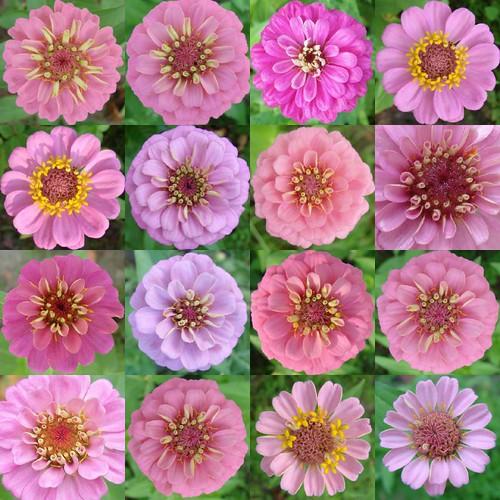 pinkzinniablooms