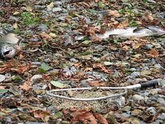 fishin' (stickupchick) Tags: autumn fall net river salmon run goldstream goldstreamprovincialpark britishcolumbiasalmon