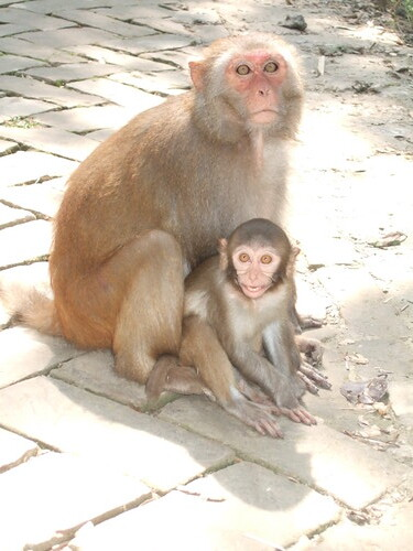 Rhesus monkeys by BBC World Service Bangladesh Boat.