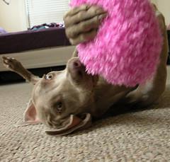 i  mukhachan (saikiishiki) Tags: pink dog baby playing cute love toy happy grey play fuzzy sweet top gray weimaraner kawaii coolpix 20   weim greyghost mukha  weimie anshin  waimarana saikiishiki